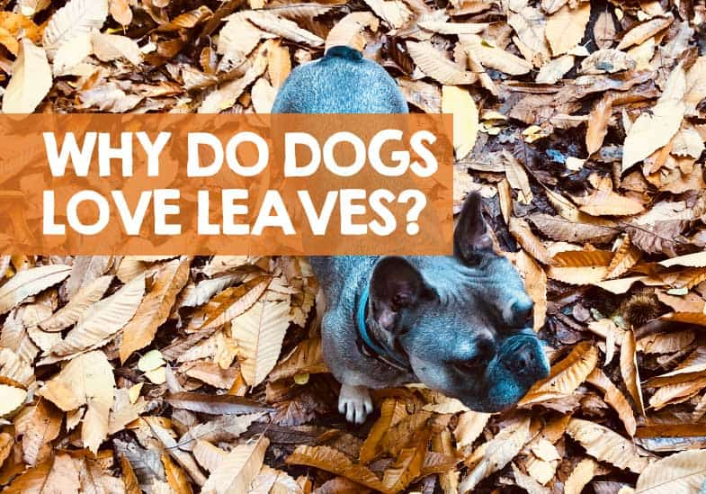 Why do dogs like jumping in leaves
