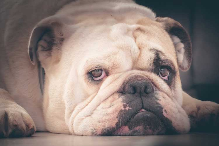 why do some Bulldogs have wrinkles