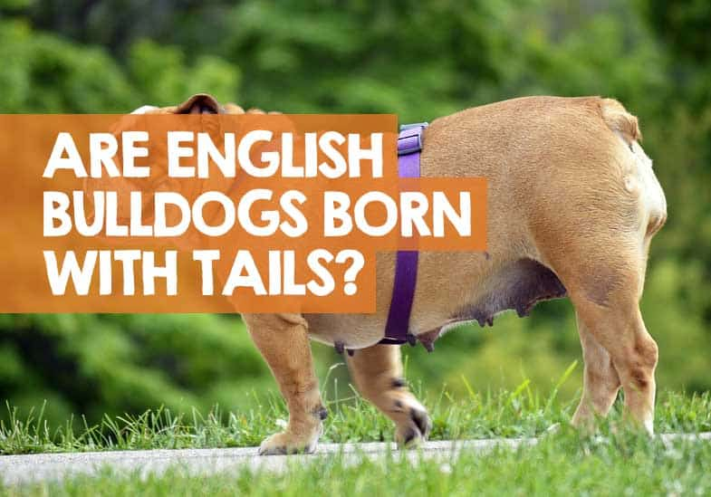 are english Bulldogs born with tails