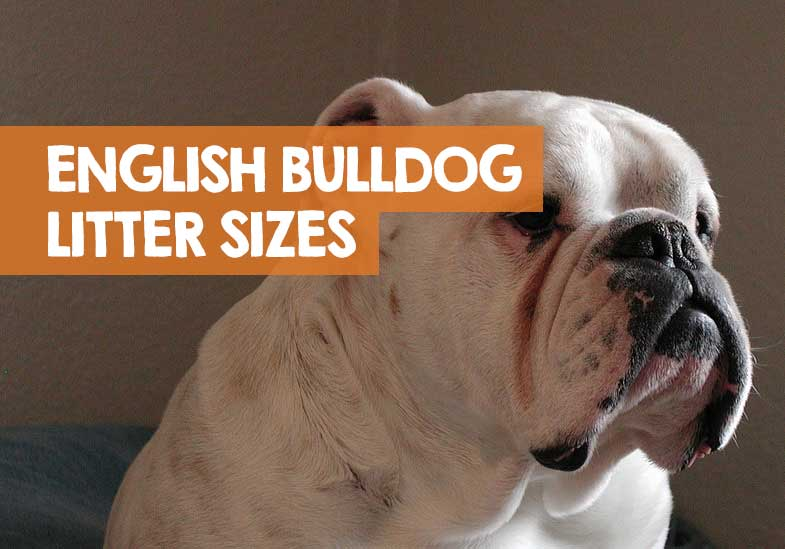 how many puppies do English bulldogs have