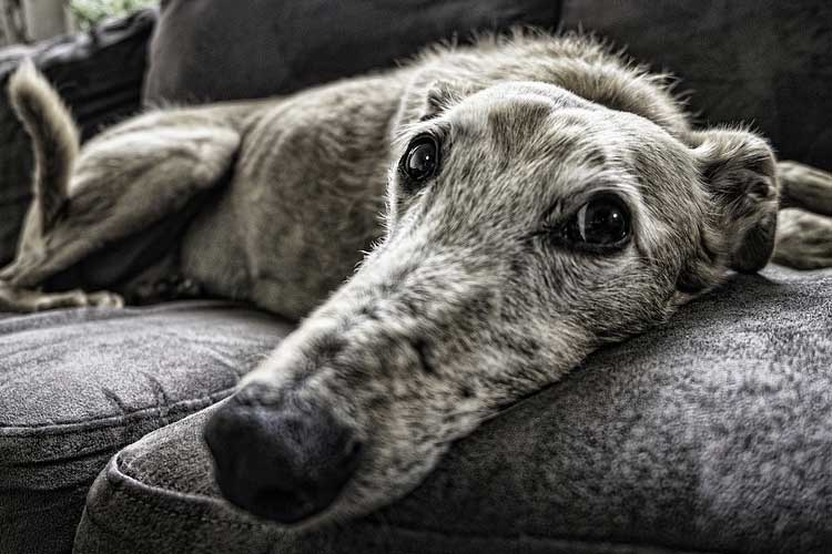 when to put down a dog with arthritis