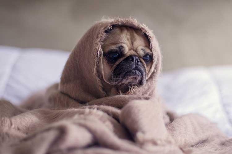 poorly pug