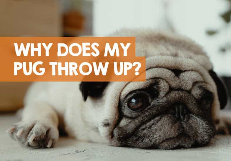 why does my pug keep throwing up