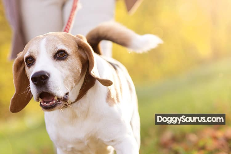 are beagles smart and easy to train