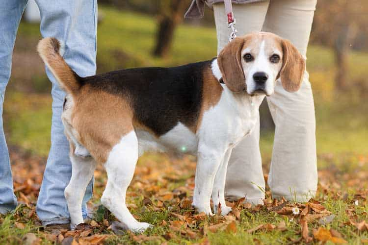 how much should a beagle mix weigh