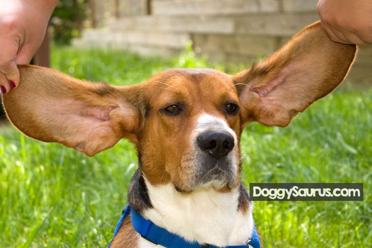 how to clean beagle ears