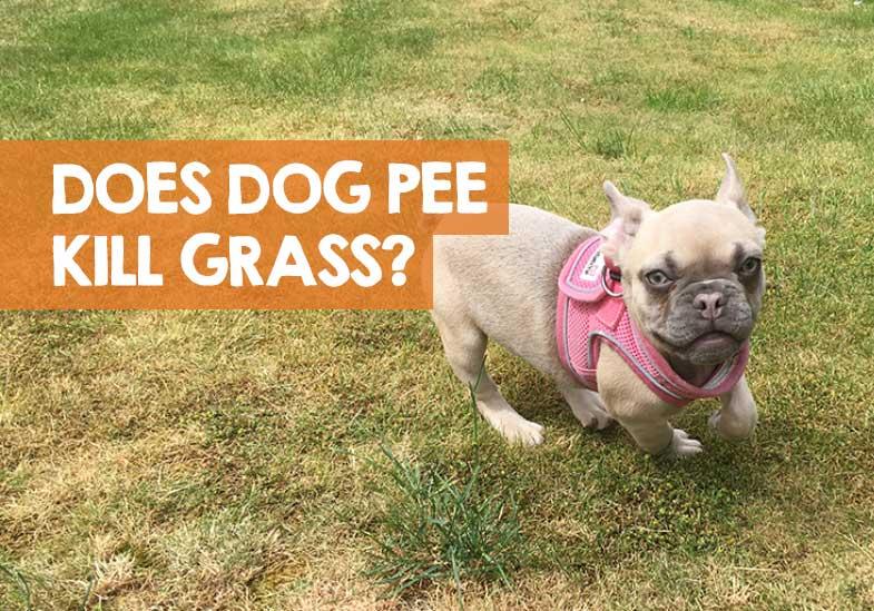 does dog pee kill grass