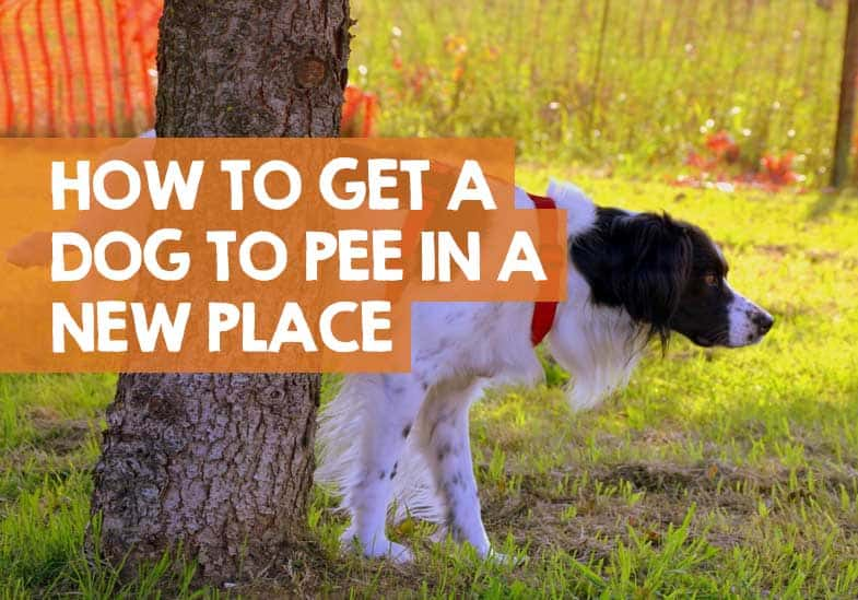 how to get a dog to pee in a new place