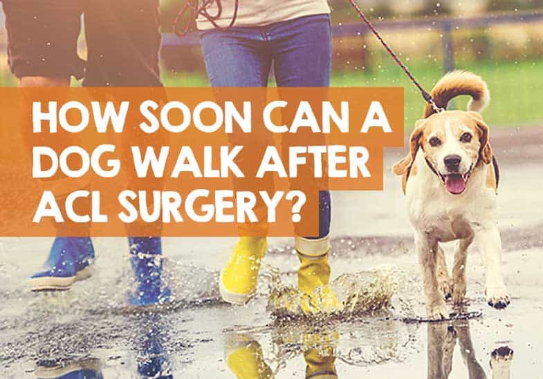 how soon can a dog walk after ACL surgery