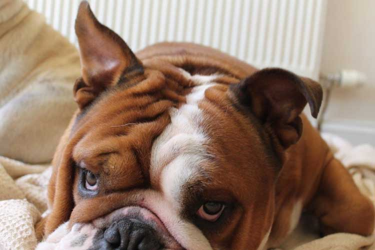 how long do english bulldogs stay in heat