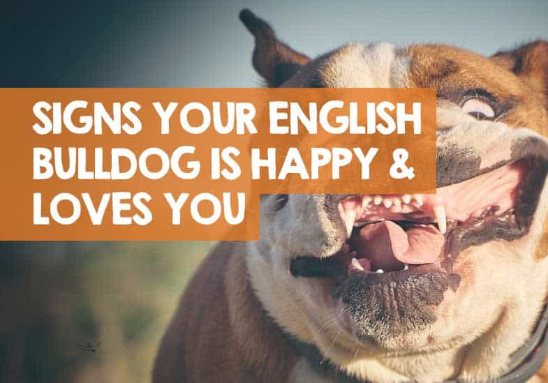 how do i know if my english bulldog is happy
