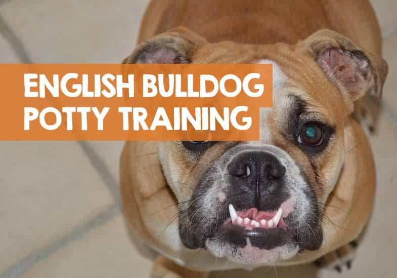 how to potty train an english bulldog puppy