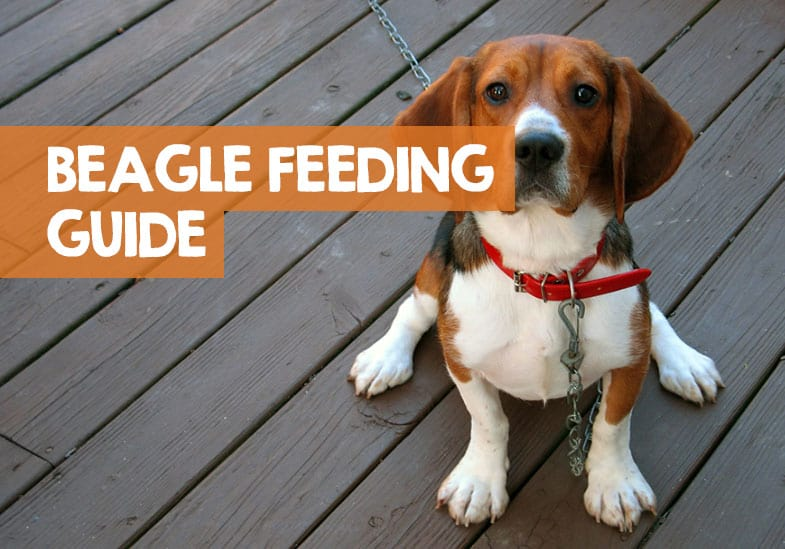 how much should a beagle eat