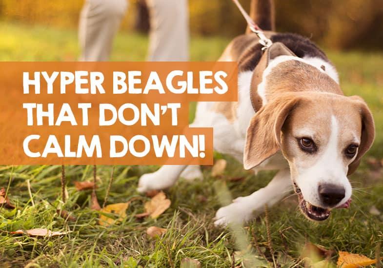 when do beagles calm down