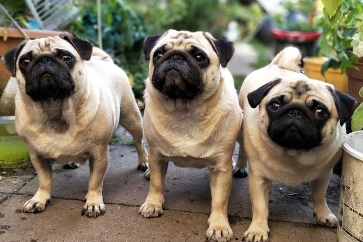 questions to ask a pug breeder