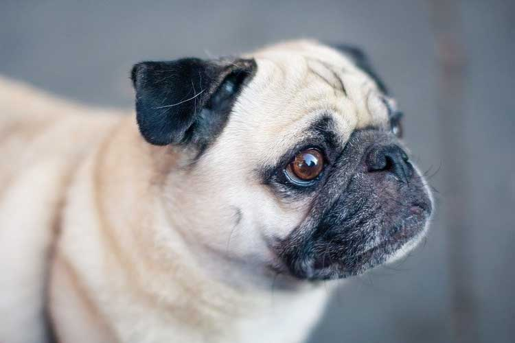 pug ownership costs