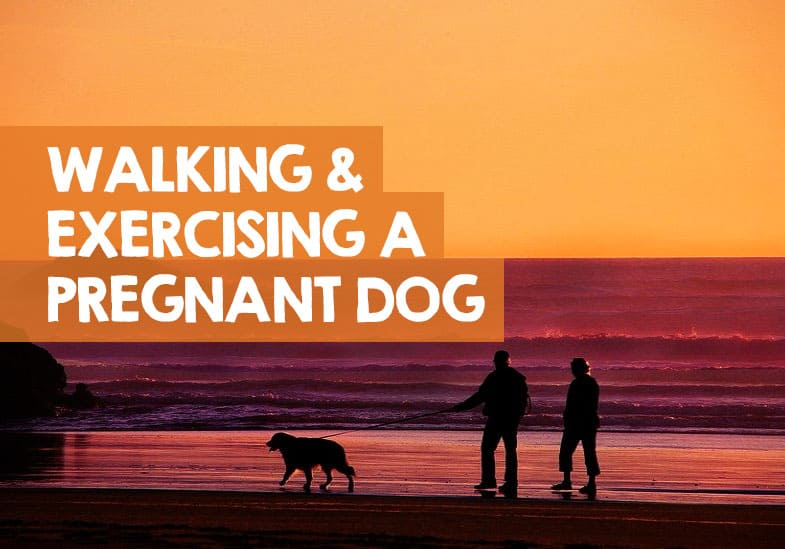 can you walk a pregnant dog