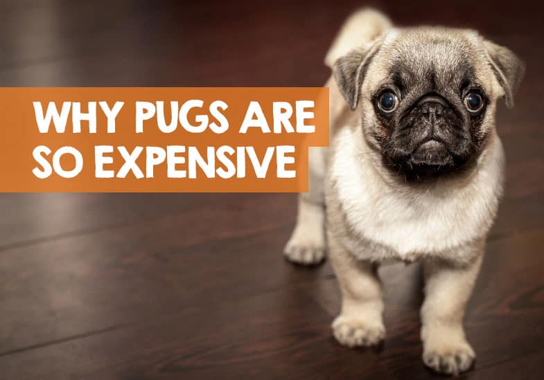 why are pugs so expensive to buy