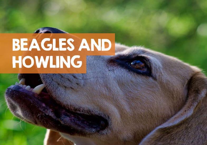 why do beagles howl