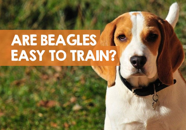 Are Beagles Easy to Train