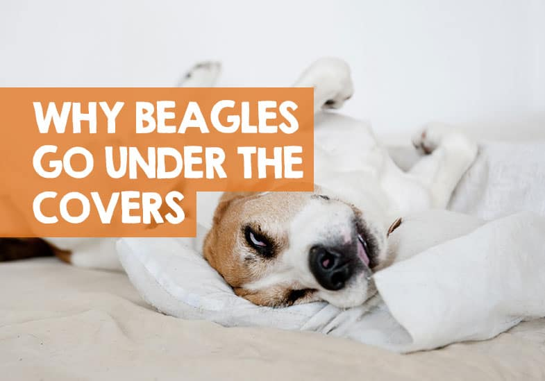 why do beagles burrow under covers