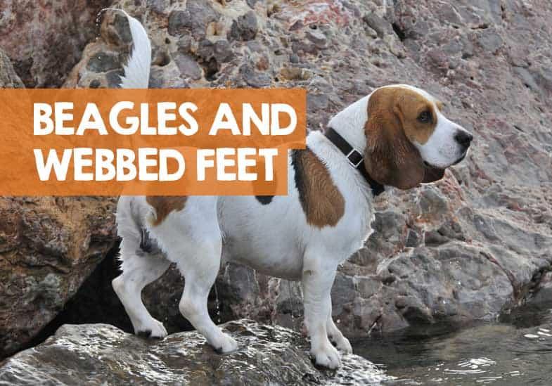 do beagles have webbed feet