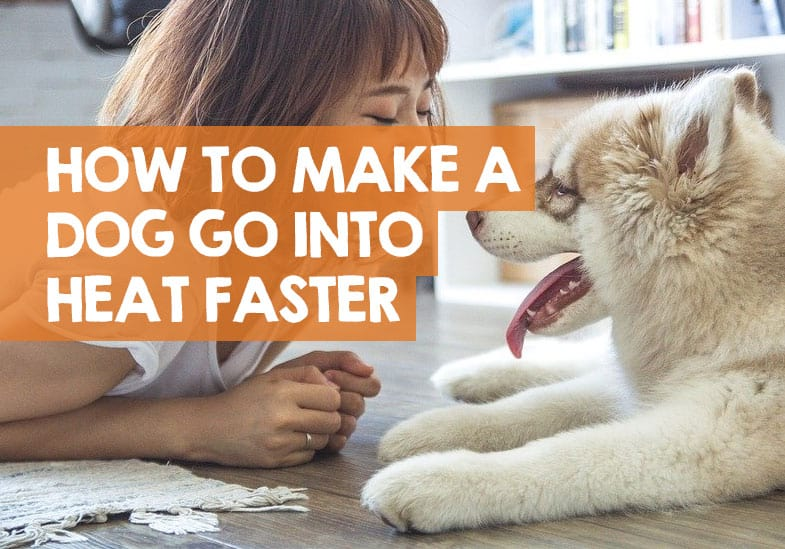 how to make your dog come in heat faster