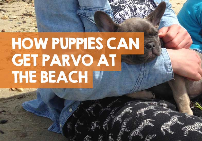 can parvo be found on the beach