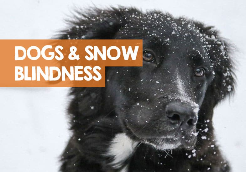 Can Dogs Get Snow Blindness