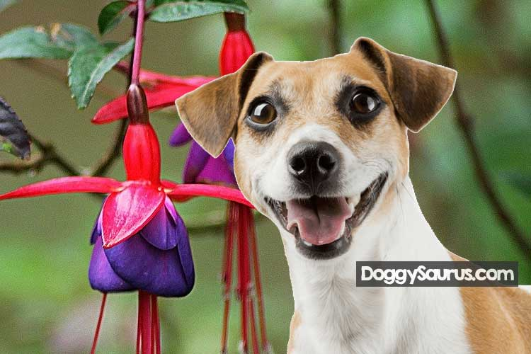 Are fuchsia berries poisonous to dogs