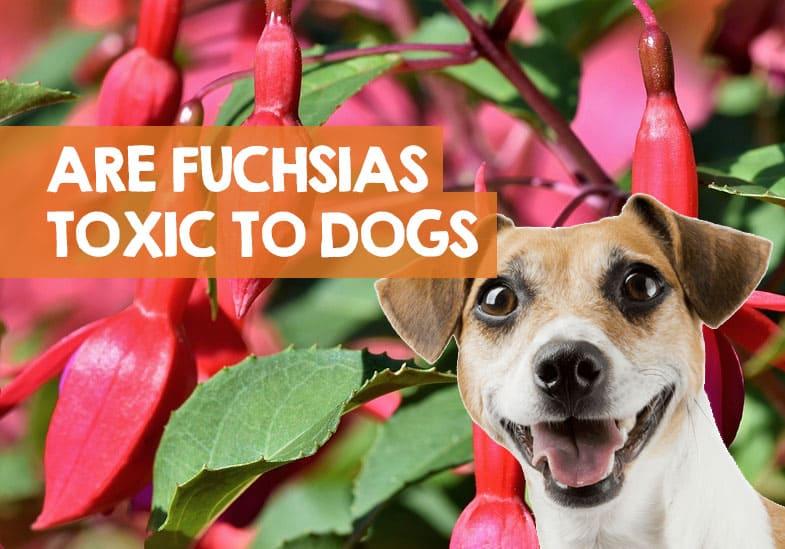 Are fuchsias poisonous to dogs