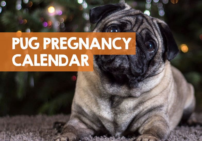how long are pugs pregnant
