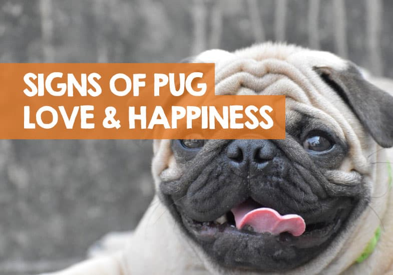 how to tell if my pug is happy