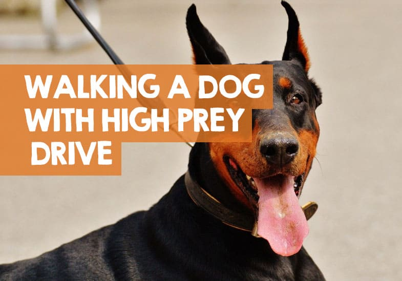 how to walk a dog with high prey drive