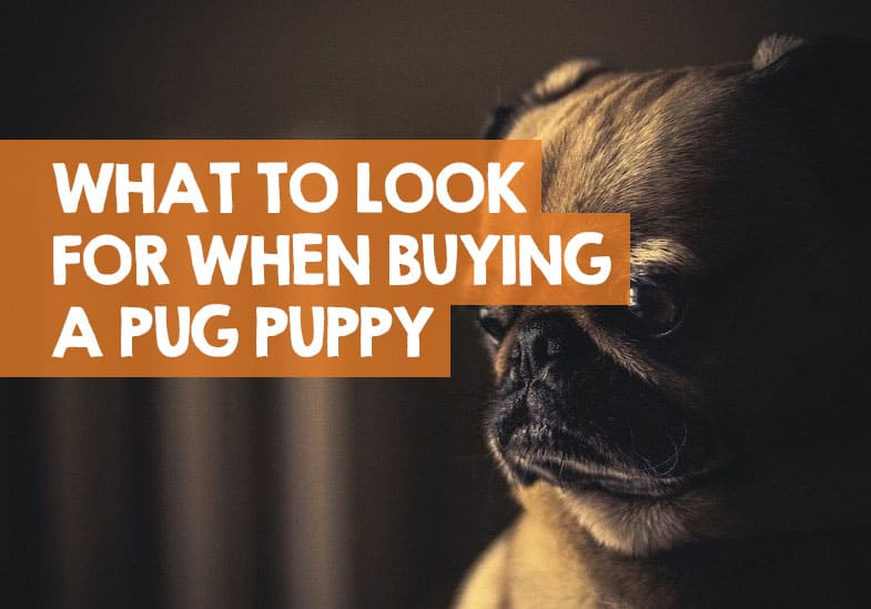 what to look for when buying pug puppy