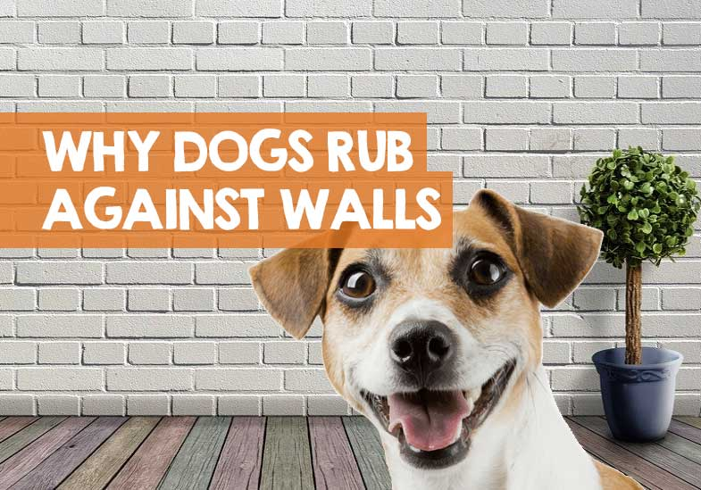 Why Does My Dog Rub Against the Wall