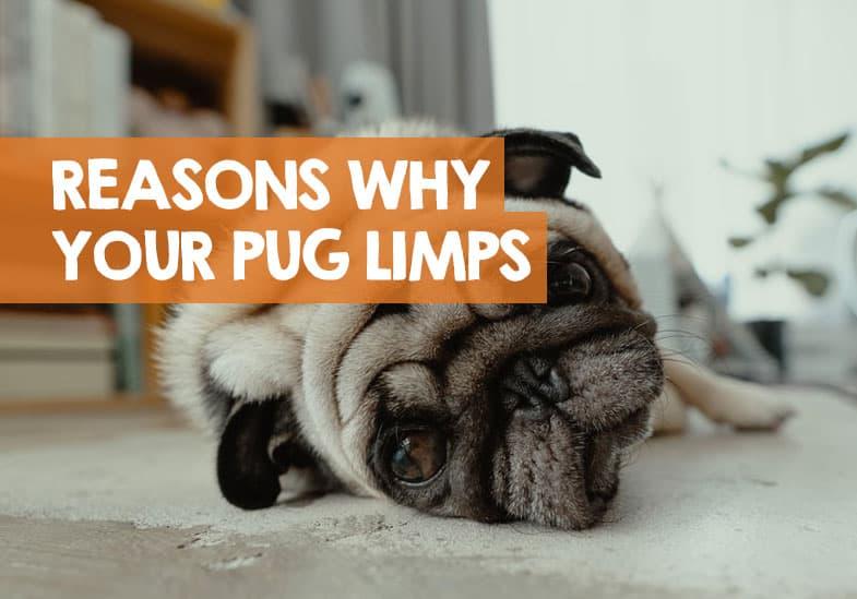 Pug Limping