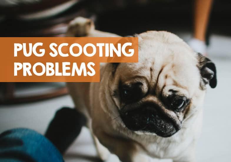 Pug Scooting