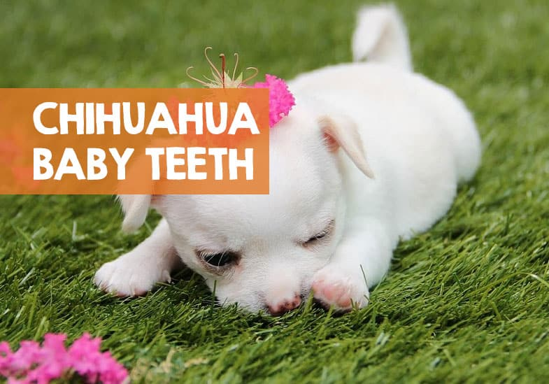 what age do chihuahua puppies lose their teeth