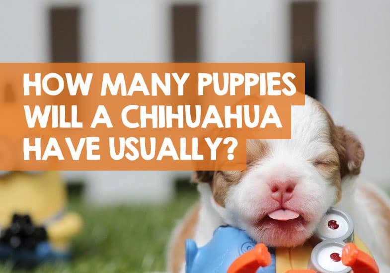 how many puppys can a chihuahua have