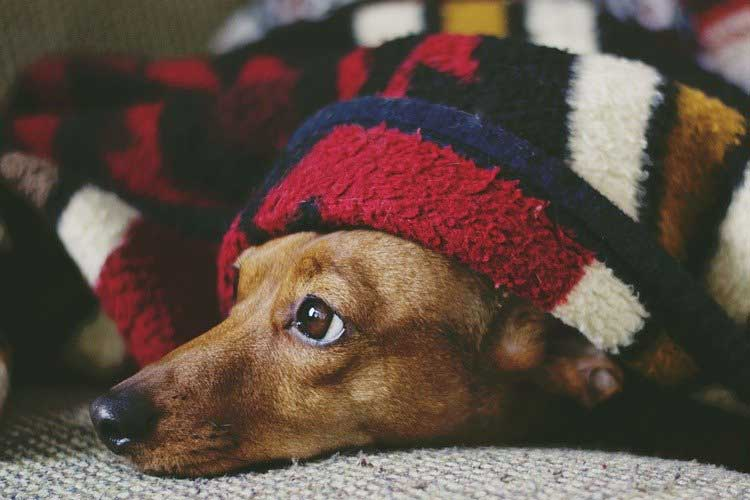 how to tell when to euthanize a dog with hemangiosarcoma