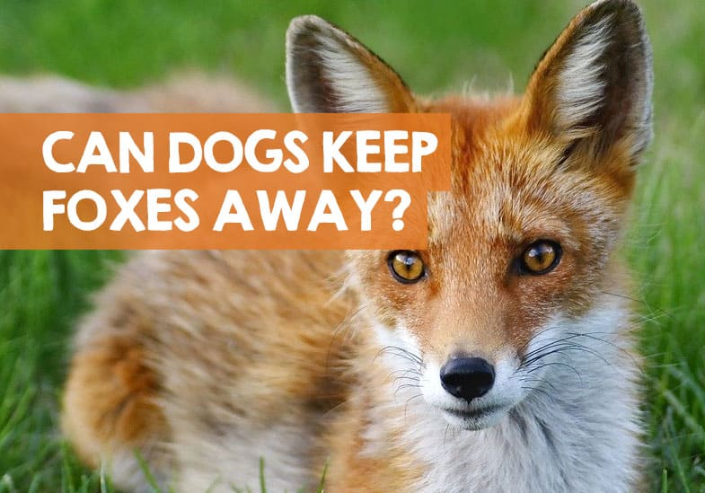 can dogs keep foxes away