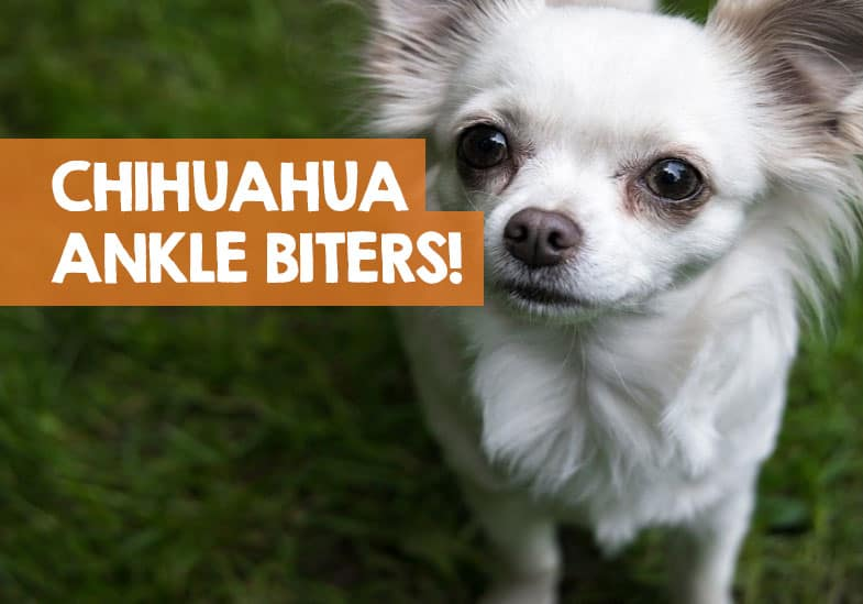 why do chihuahuas bite ankles