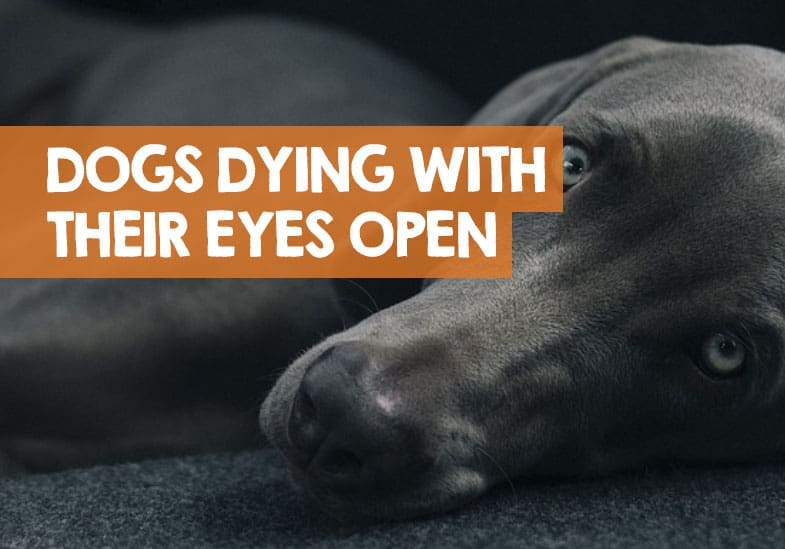 Why Do Dogs Die With Their Eyes Open