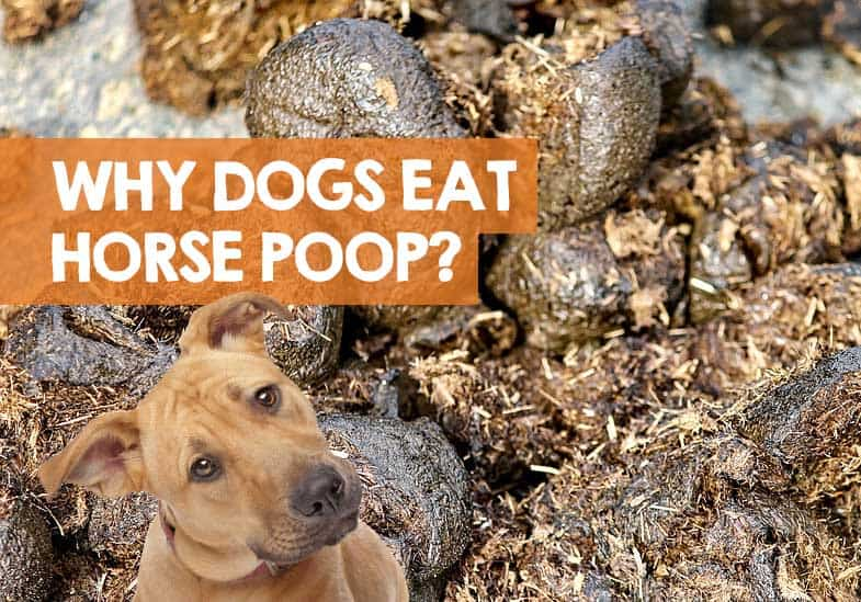 why do dogs eat horse poop