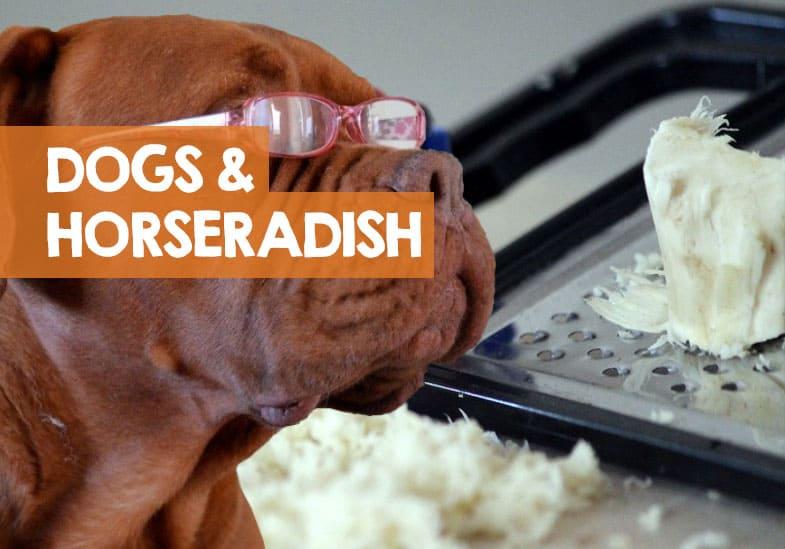 can dogs eat horseradish
