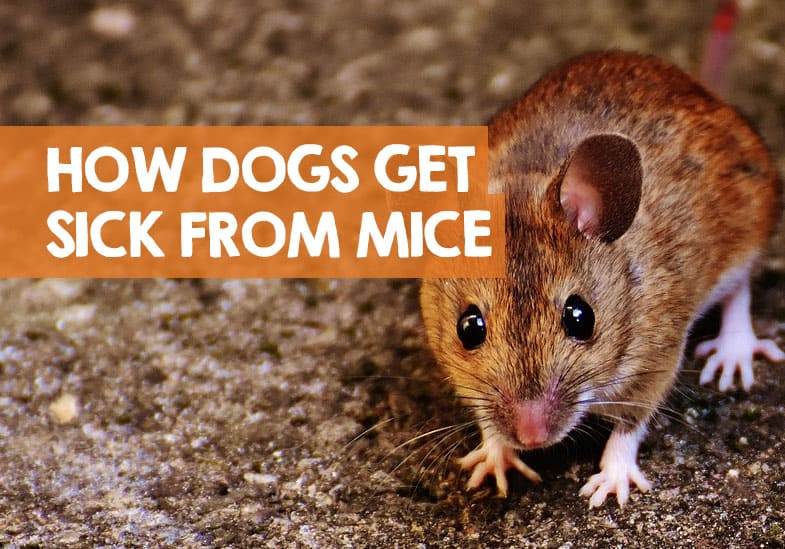 Can dogs get sick from mice poop