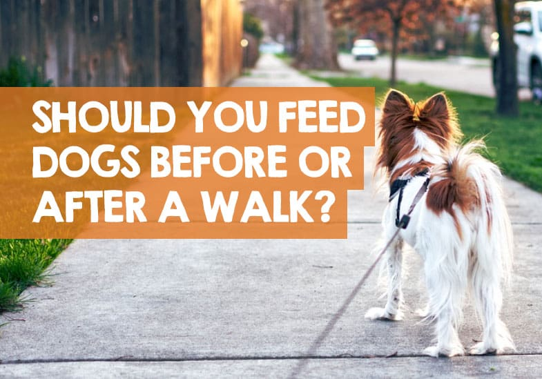 should i feed my dog before or after a walk