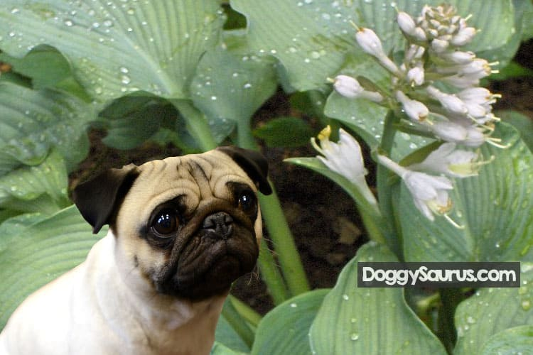 hosta flowers poisonous to dogs
