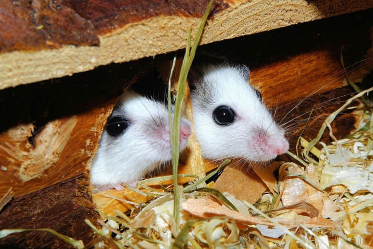 can dogs get sick from mice droppings